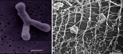 Star shaped bacteria