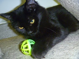 Sweet Little Penny!~ 6 Month old Black Domestic Short Hair Kitten~  Available for Adoption at the Main TLC Shelter!