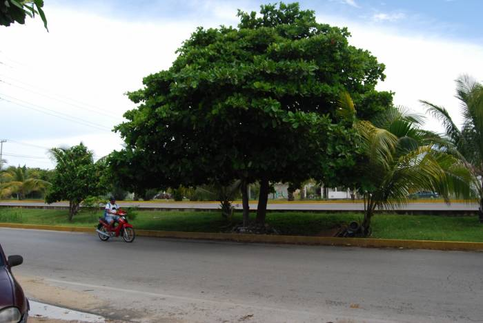 Desde bangkok agosto 2013 for Arboles para sombra de poca raiz