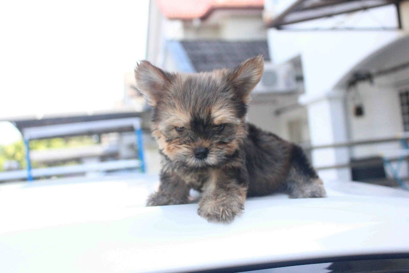 Cup Size Yorkshire Terrier Puppy title=