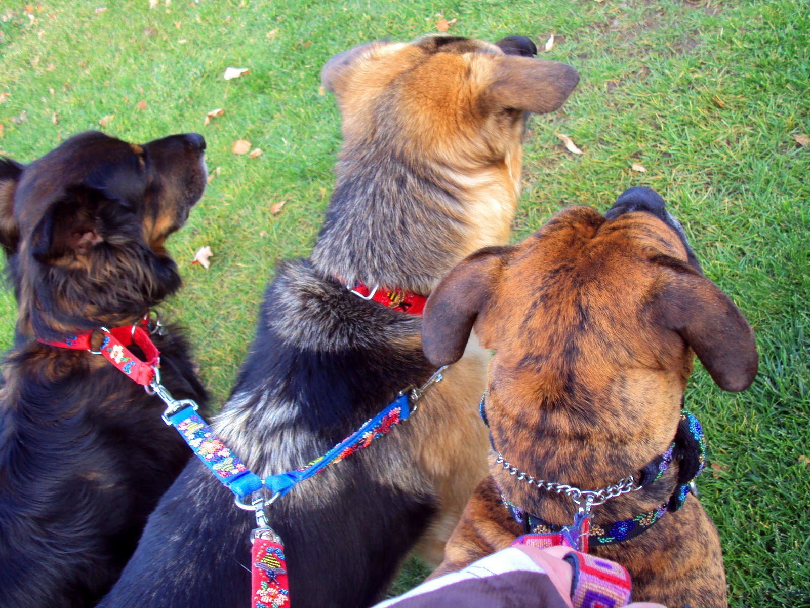 Dog Whisperer Leash Training Puppy