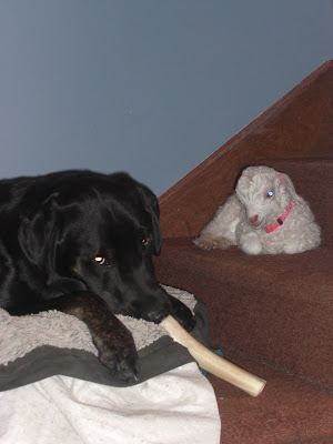 Picture of Rudy laying on his bed, chewing on his bone - Lucy is laying down beside him