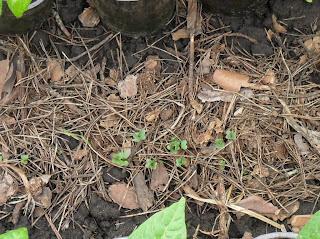 12.05. Взошла капуста под укрывкой, посев 3 мая