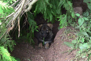 Puppies head and front paws can be seen sticking out of new den.