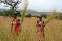 kenya zulugrass harvesting