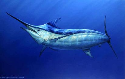 Resultado de imagem para marlin azul