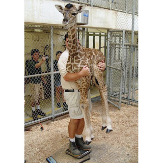 giraffe, zoo, weight, zookeeper, weird