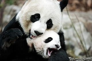 mãe panda e pandinha
