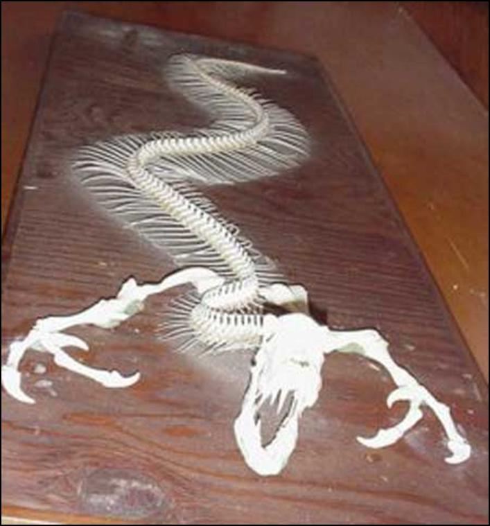 Giant oarfish skeleton