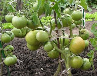 20.08. Безрассадные помидоры Толстый Джек начали уже бланжаветь. Это из-за аномальной жары, за 30. Август - для них это очень рано. Прошлый сезон поспевали только в середине сентября.