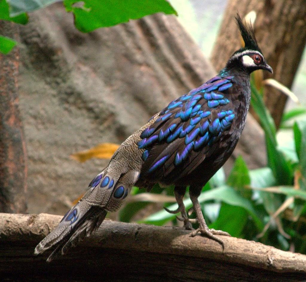 The Palawan peacock pheasant