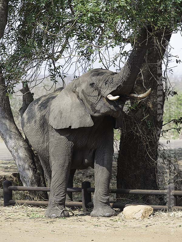 African Elephant (Loxodonta africana) raising its trunk eating leaves