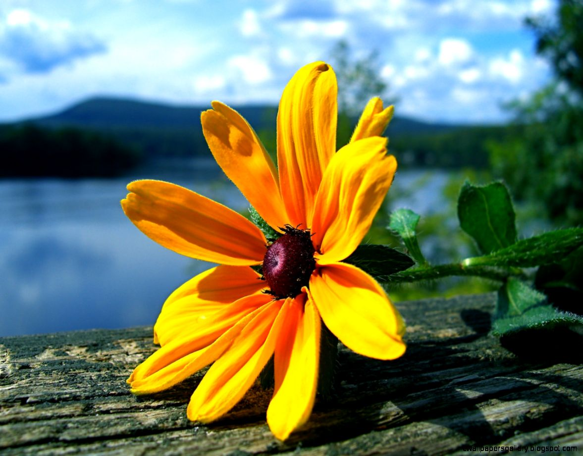 Yellow Flowers Images   HD Wallpapers Backgrounds of Your Choice