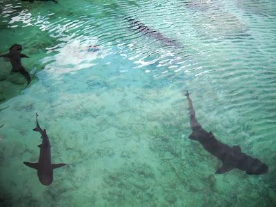 Ikan-ikan hiu yang dikeramba