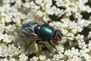 Para ampliar Lucilia sp (mosca verde de la carne) hacer clic