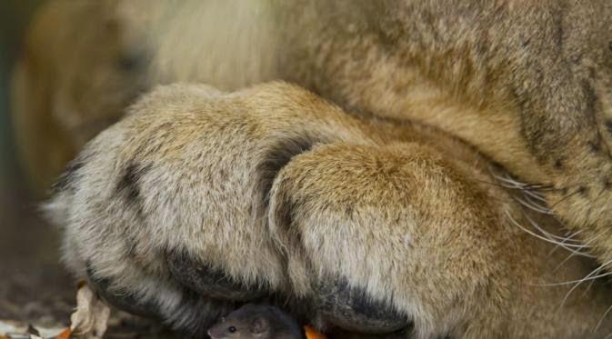 foto tikus yang bersembunyi di bawah kaki seekor singa