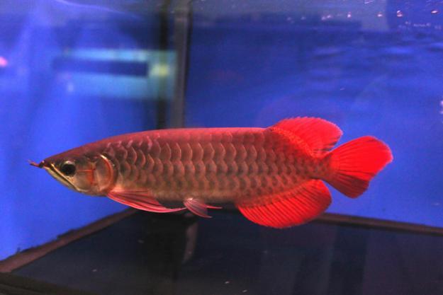 Gambar untuk ikan arwana