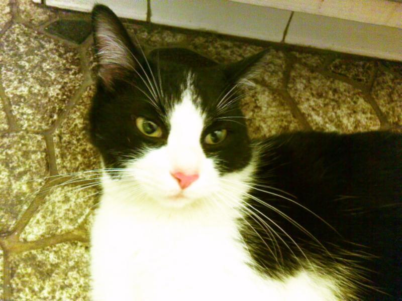 vocal cat breeds