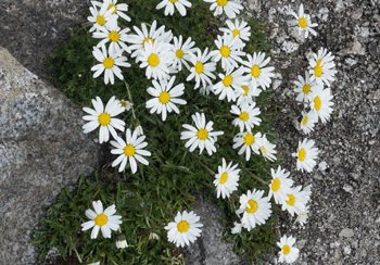 Leucanthemopsis Alpina (Margherita Alpina)