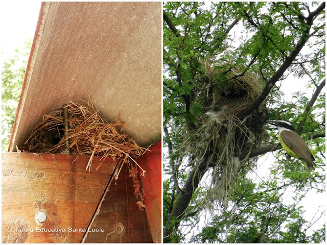 Las aves aprovechan estructuras que soporten el nido - Chacra Educativa Santa Lucía
