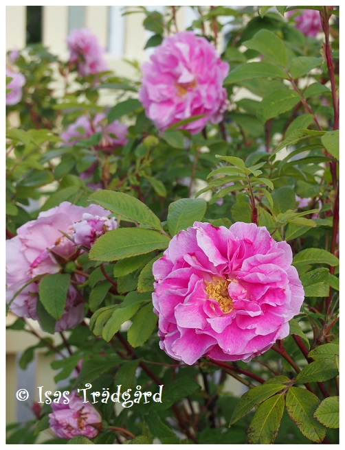 Härliga rosor