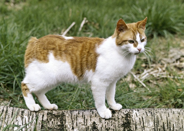 Size and Weight of Manx Cat