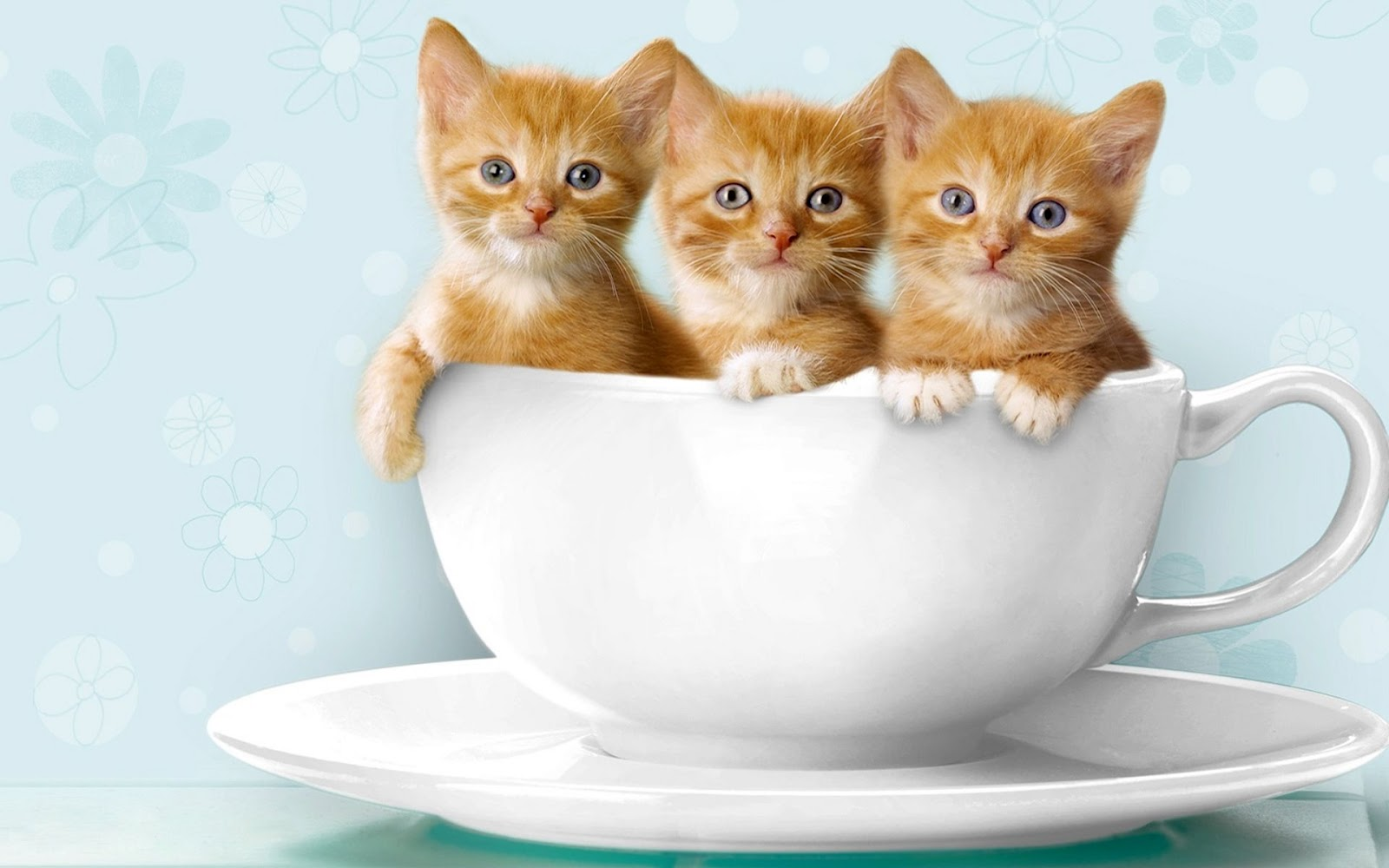 Baby Cat Cute Kittens in Cups