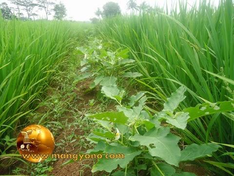 FOTO: Tanaman terong sebagai tumpang sari padi
