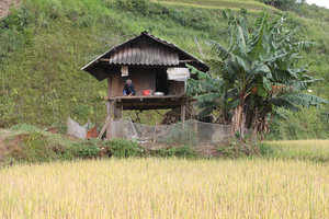 A H'mong house next to rice field