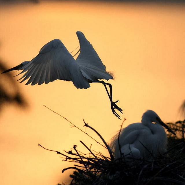 Graceful cranes, beautiful dance