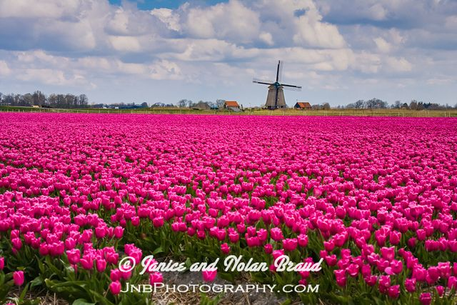 A-Tulip-field-Holland-3