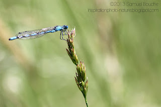 photo libellule bokeh agrion bleu