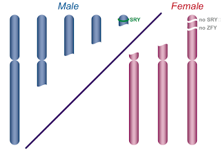 y chromosome sry  Placement of the SRY