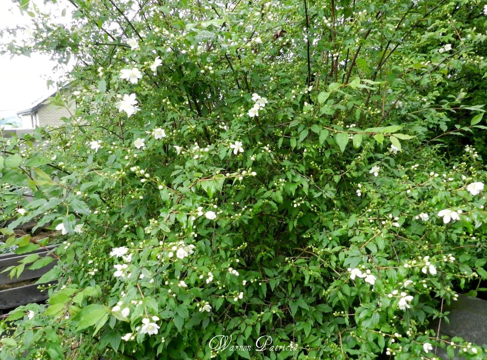 Amoureuse de la nature philadelphus ou plus populairement for Arbuste de jardin