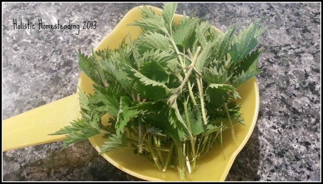 Brennessel Stinging Nettle