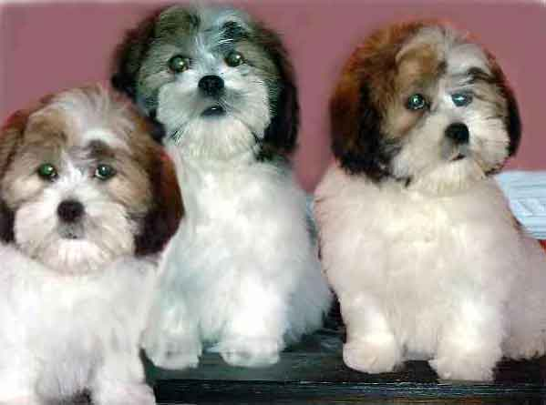lhasa apso dog puppy breeds hound canine pooch canis bow-wow despicable fellow qen txakurra gos pas hond koer aso koira kutya hundur madra pets huisdieren animaux de compagnie Haustiere de companie husdjur Evcil Hayvan anifeiliaid anwes domace zvali augintiniai alagang hayop domaci zvirata kucni ljubimci animals domestics maskotak animal pets info