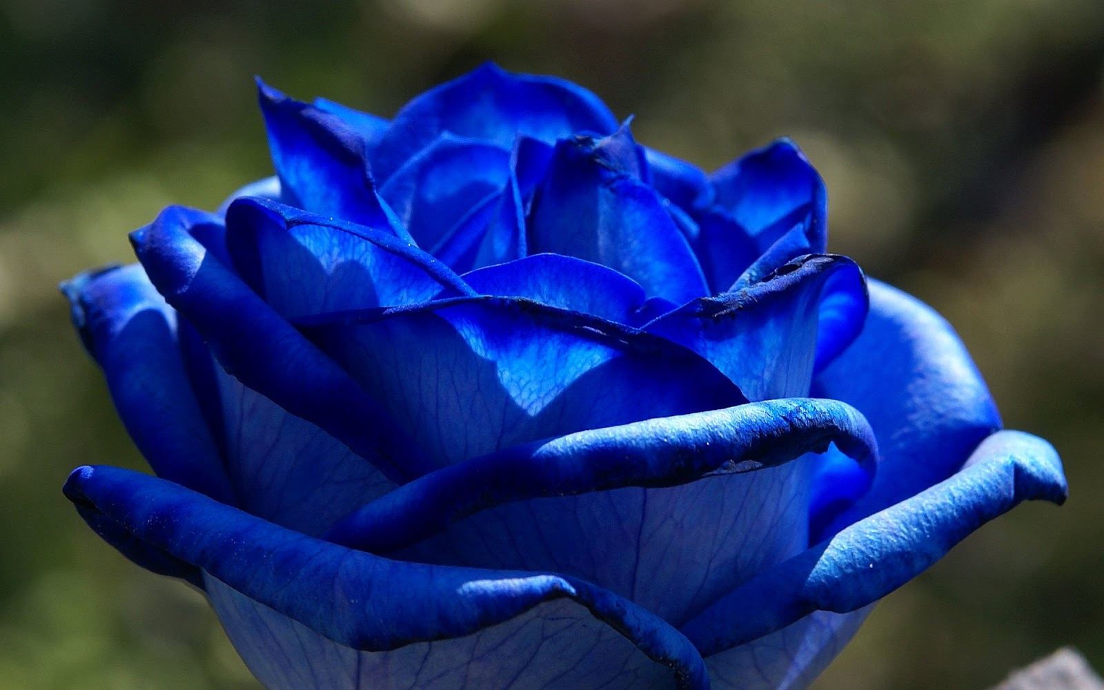 blue rose flowers flower hd wallpapers images pictures