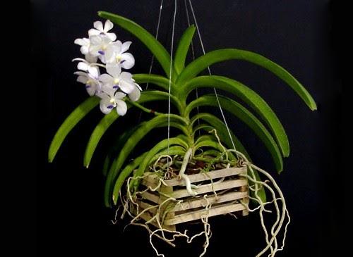 Grupo orquide filo del norte santafesino gu a para el for Cuidados orquideas interior