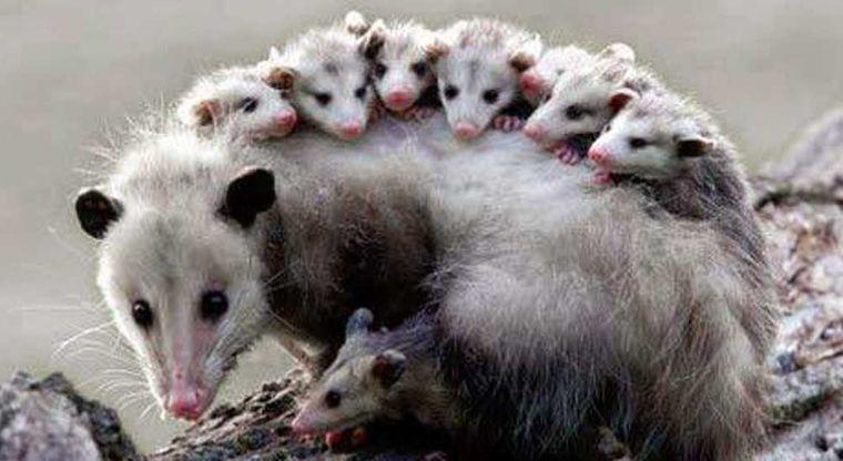 1 vÍdeo ¿cómo cuidan los tlacuaches a sus crías? te sorprenderas