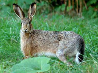 free downloading pics of hare wikipedia