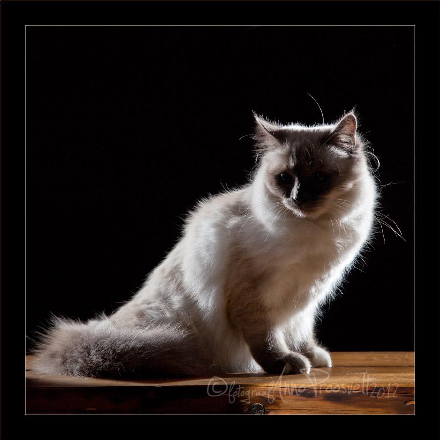püha-birma-kass-fotostuudios