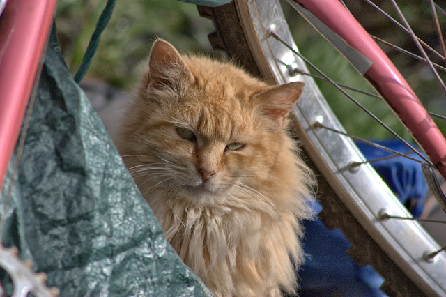 Fluffy Buff Tom and Bike Frame by Chriss Pagani from flickr (CC-NC-ND)