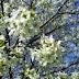 Çiçek Açmış Kiraz Ağaçı