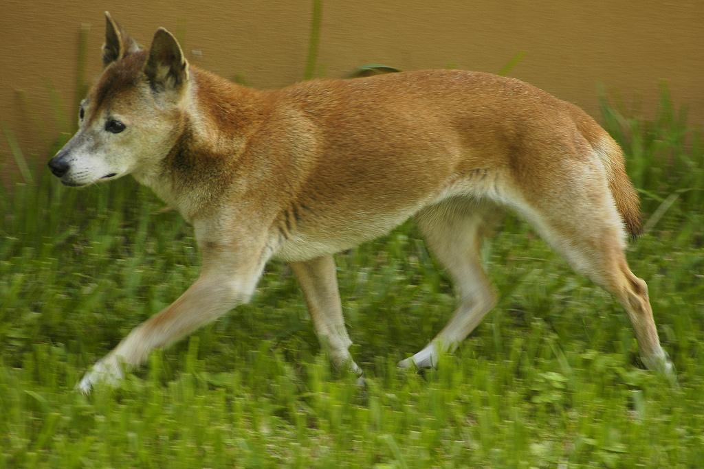 new guinea singing dog hakkında genel bilgiler