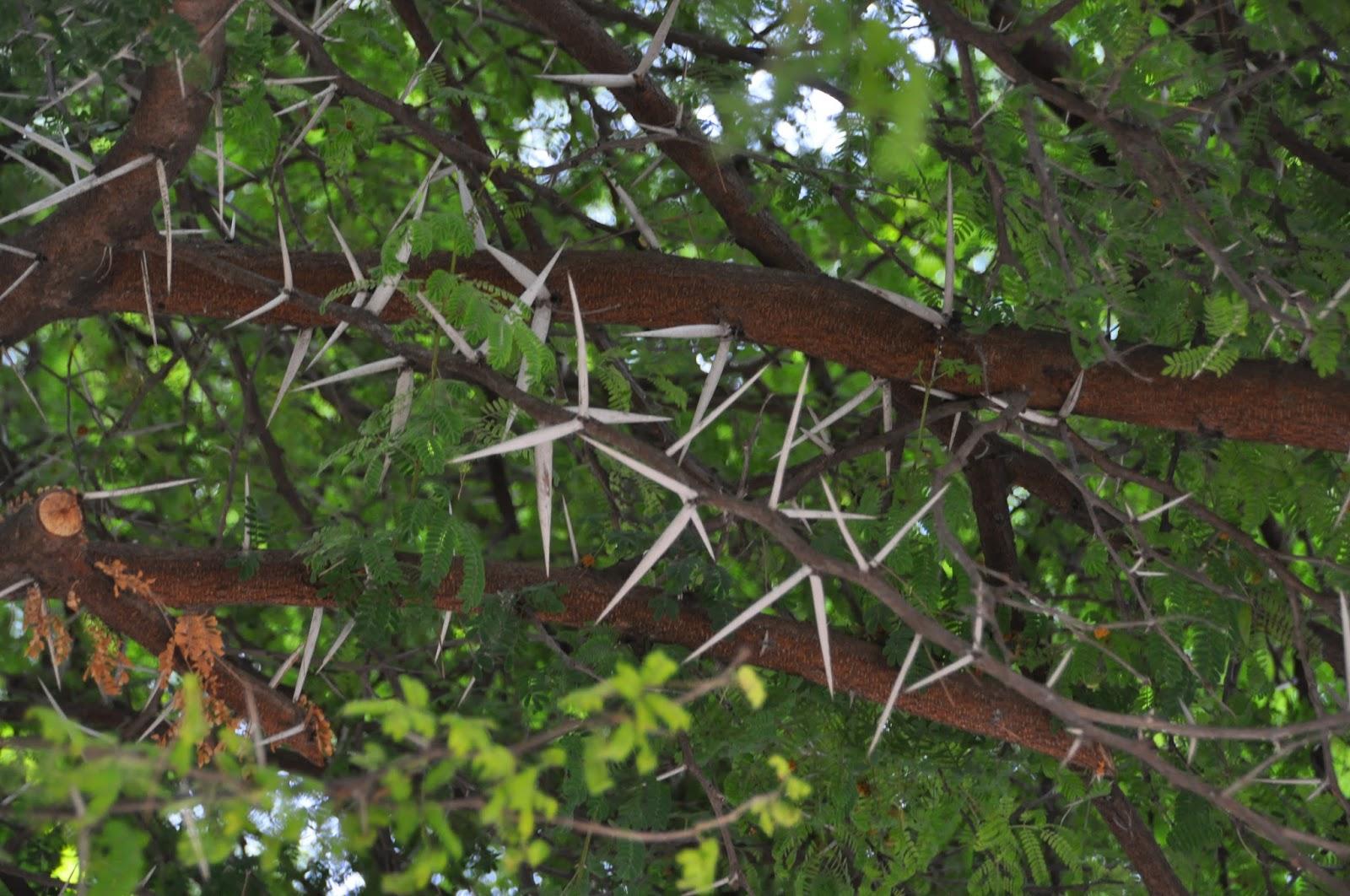 Cagliari in verde elogio delle spine for Acacia albero