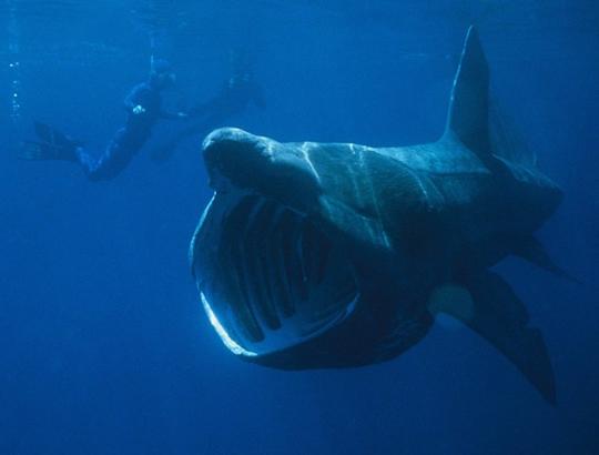 Dont Be Afraid Of The Shark Basking Sharks