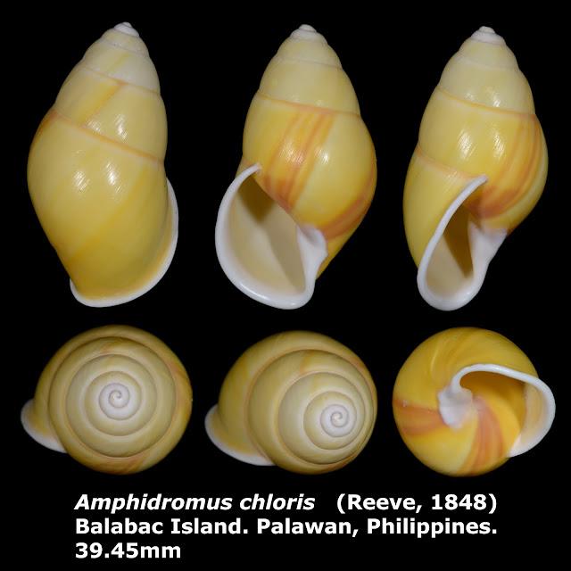 Amphidromus chloris 39.45mm