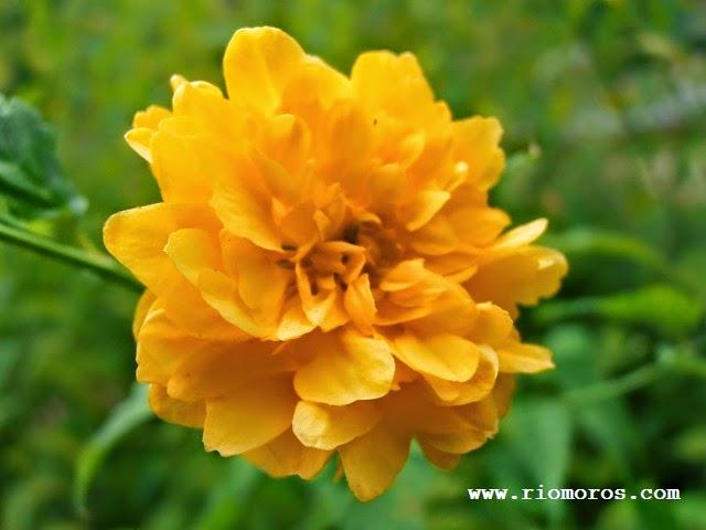 "Rosal japonés: Kerria japonica ""Pleniflora"""