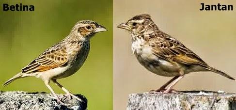 Burung Branjangan Jantan dan Betina   Tips Merawat Burung Dan Harga ...