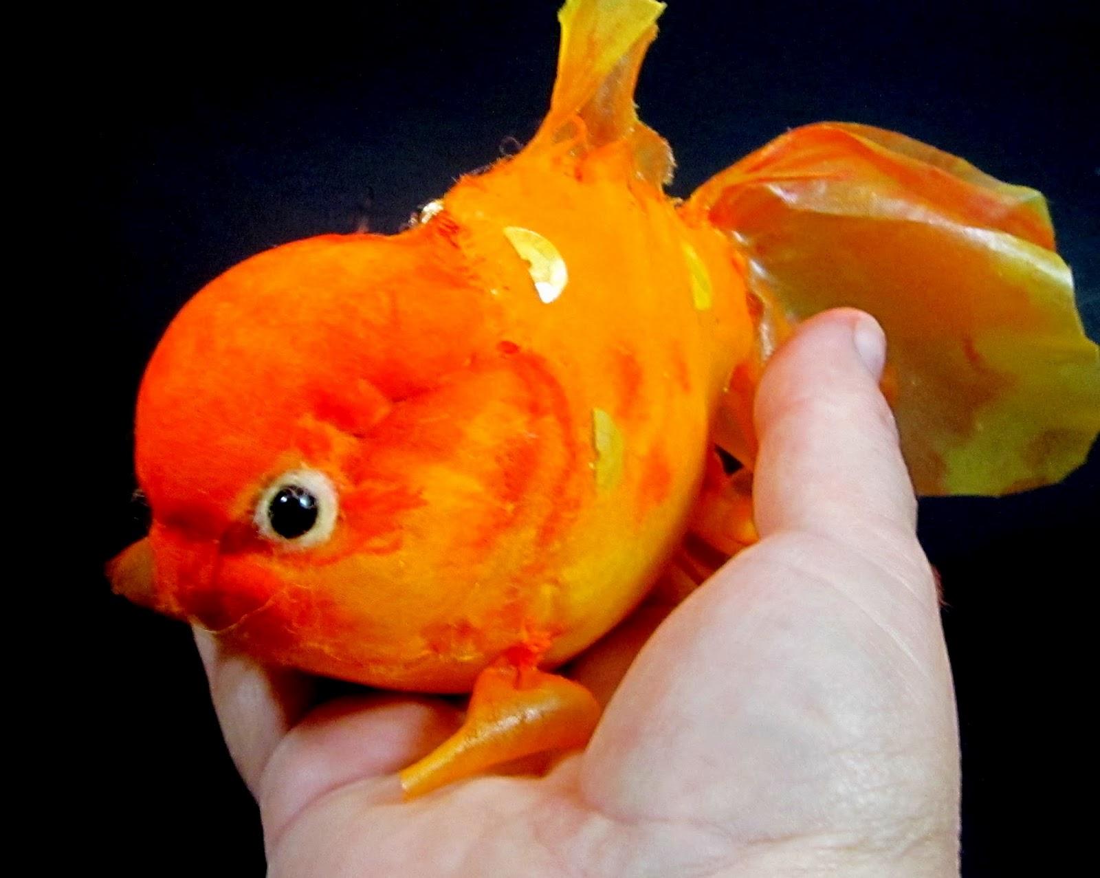 Blue Oranda Goldfish Gilda, the oranda goldfish White Oranda Goldfish